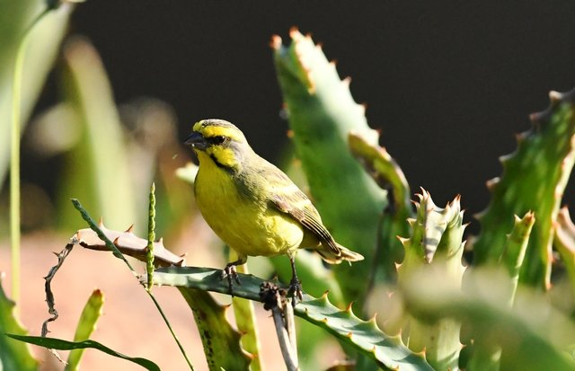 Kruger NPでみたYellow Fronted ...