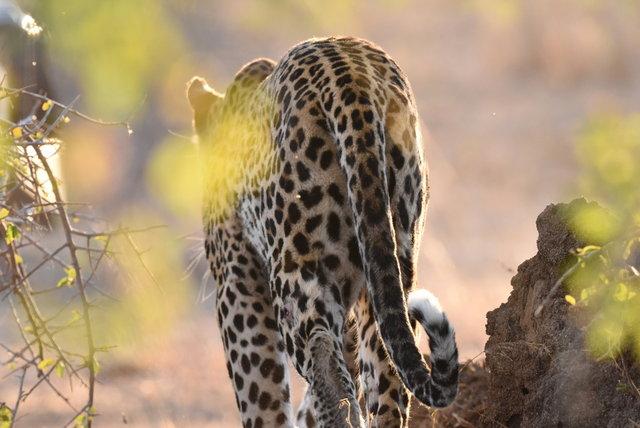 1豹 (45)