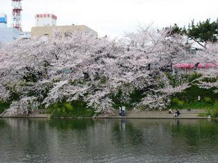 2010年 岡崎桜 010