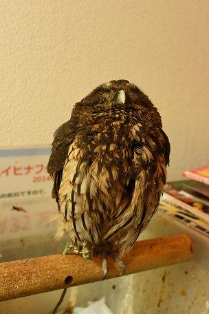 フクロウ1 (6)