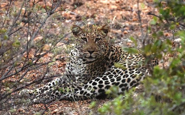 豹 (3)