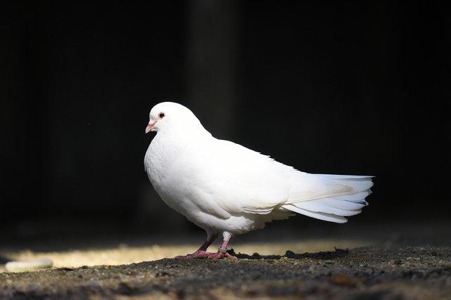 鳩 (2)s