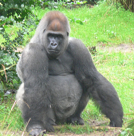 473px-Male_silverback_Gorilla