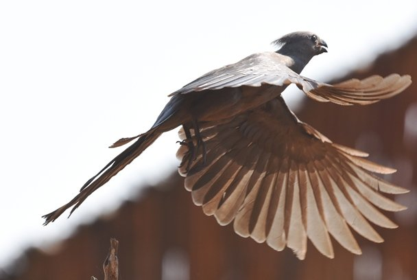 Grey bird (8)