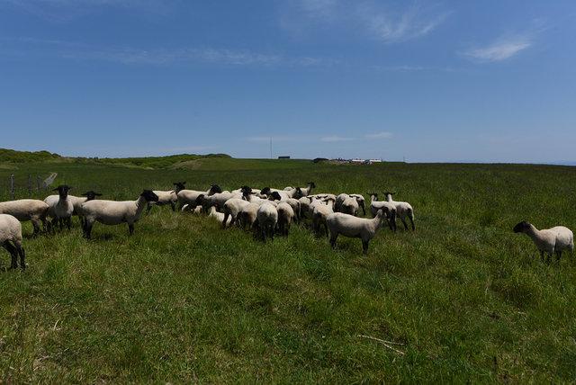 めん羊 (1)s