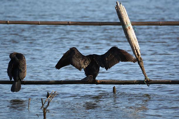 9正体不明の黒い鳥 (12)