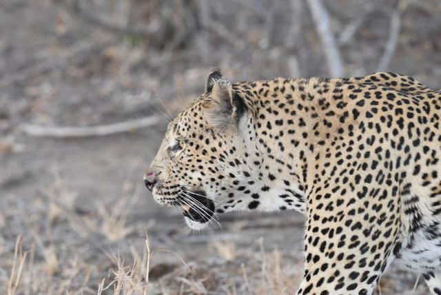 1豹 (54)