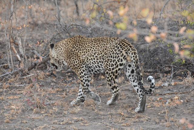 1豹 (31)