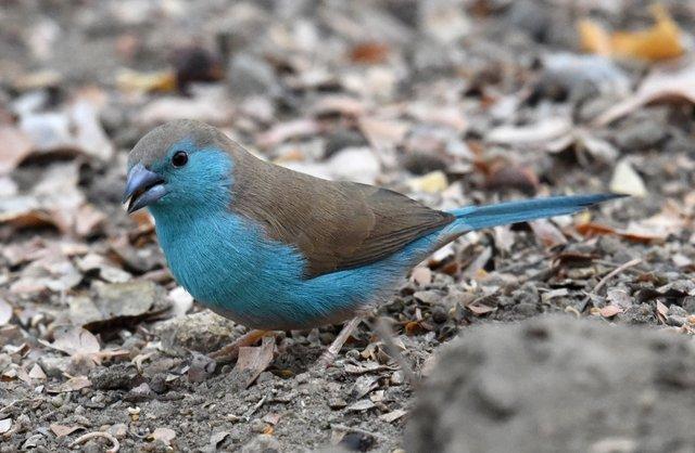 15 Blue waxbill (5)