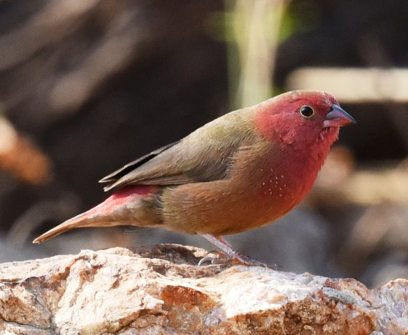 31Red-billed Finch (1)