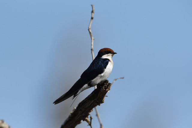 30 Wire-tailed Swallow (2)