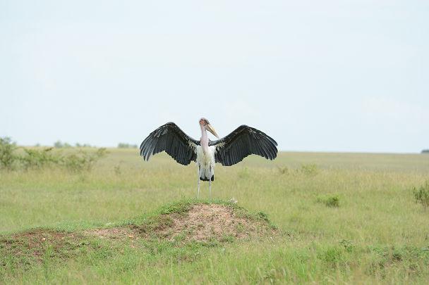 アフリカハゲコウ (2)s