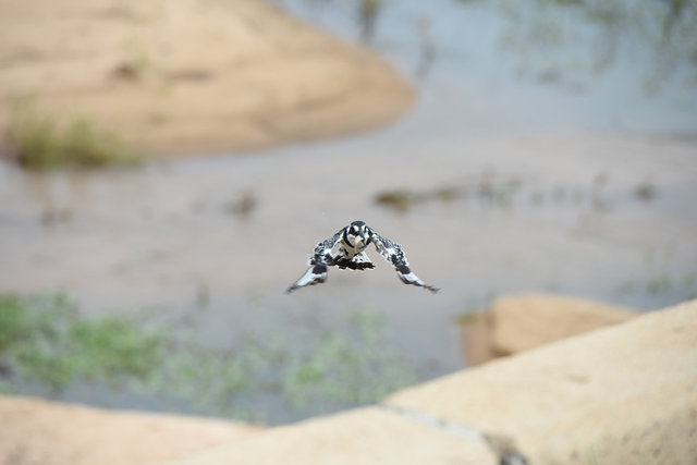 9Pied Kingfisher  (8)