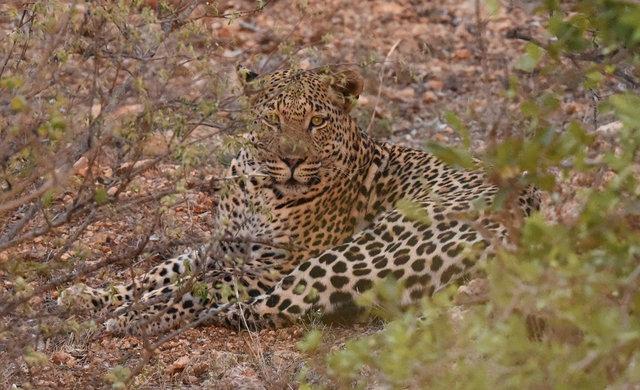 豹 (4)