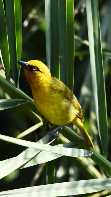 20SPECTACLED WEAVER