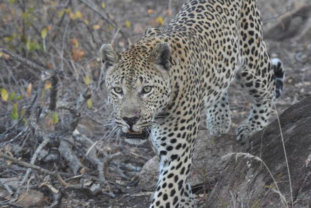 1豹 (47)