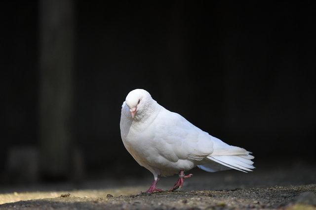 鳩 (1)s