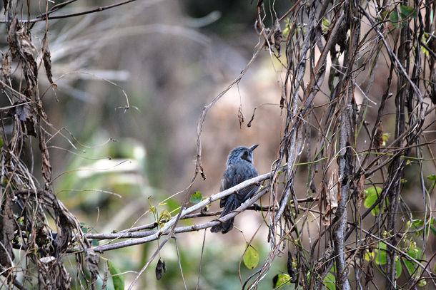 2カワセミみたいな鳥  (2)