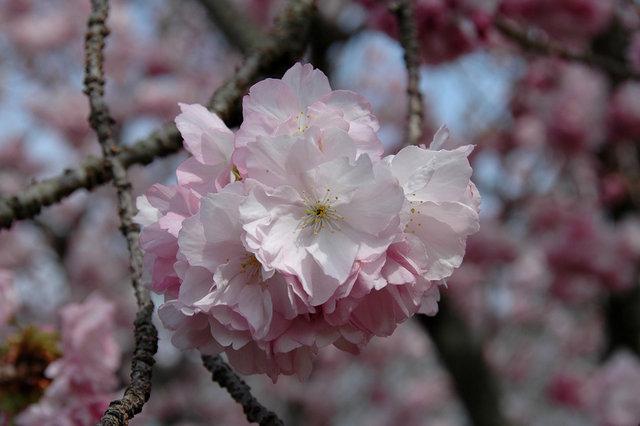 京都の桜 2008 125s