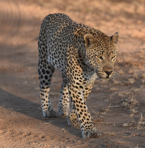 1豹 (15)