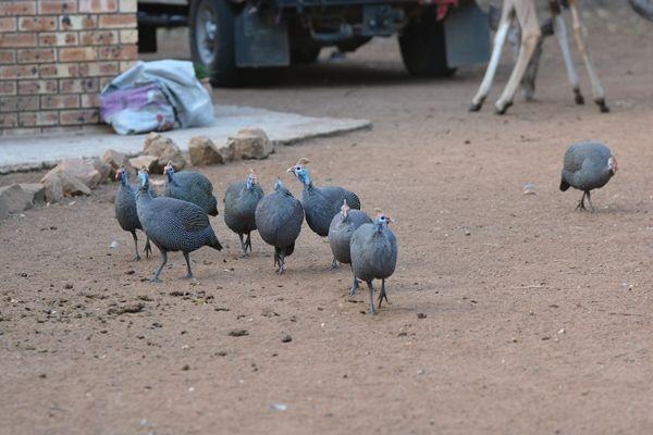 5ホロホロ鳥