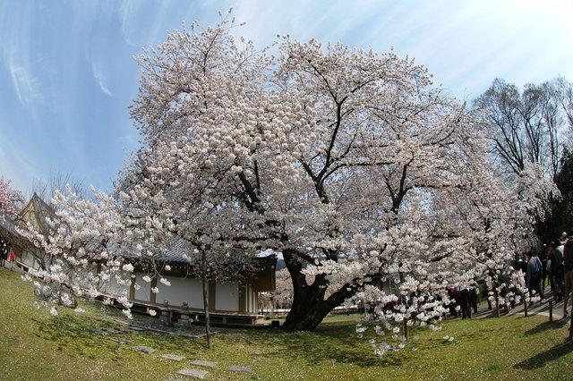 京都の桜 2008 164s