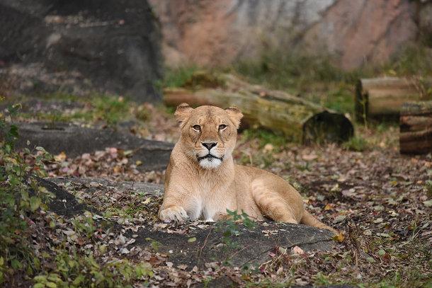 雌ライオン (3)