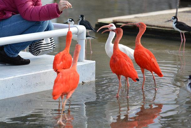 水辺赤い鳥 (4)