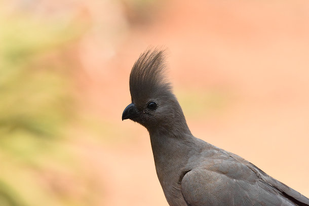 Grey bird (11)