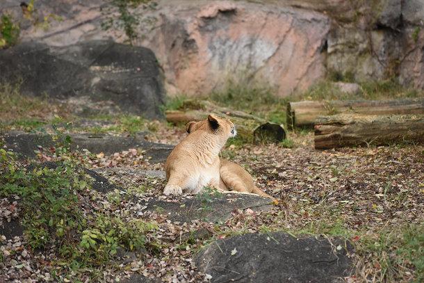 雌ライオン (1)
