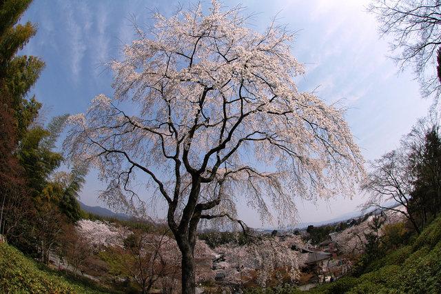 京都の桜 2008 527s