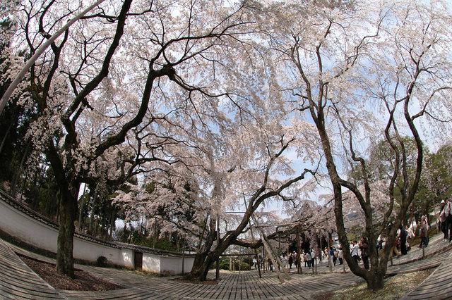 京都の桜 2008 067s