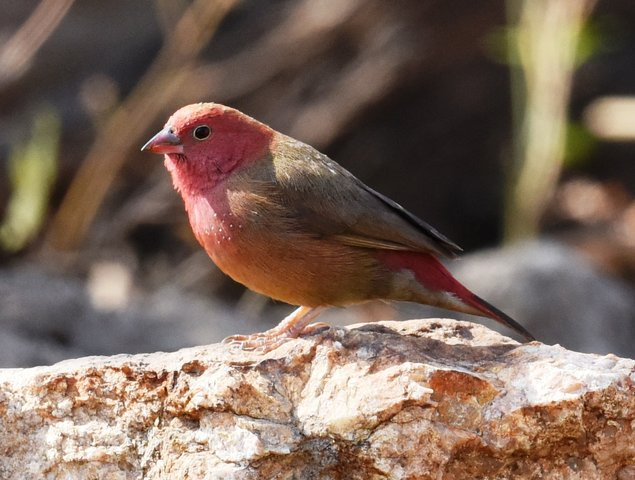 31Red-billed Finch (2)