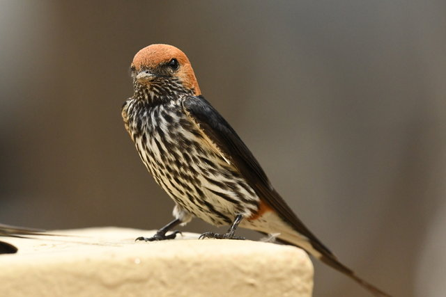 12Lasser striped swallow