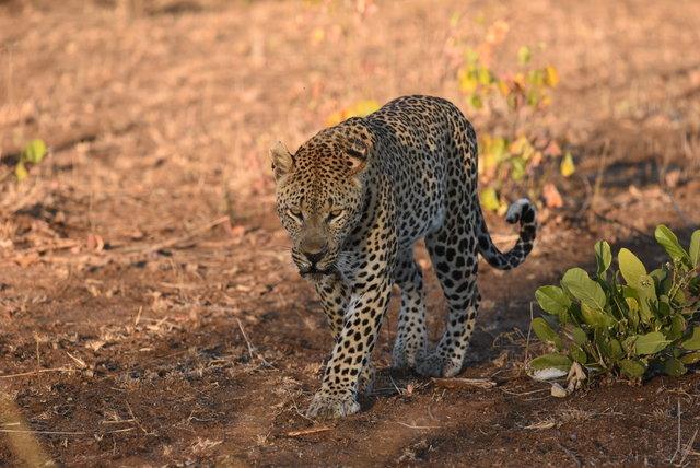 1豹 (7)