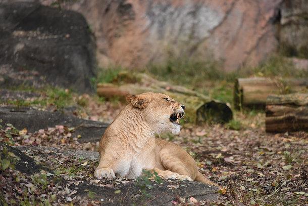 雌ライオン (6)