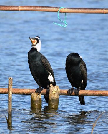 9正体不明の黒い鳥 (7)
