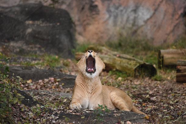 雌ライオン (4)
