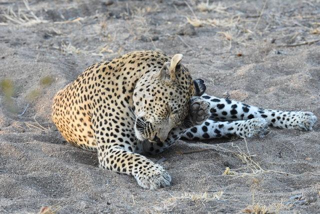 1豹 (42)