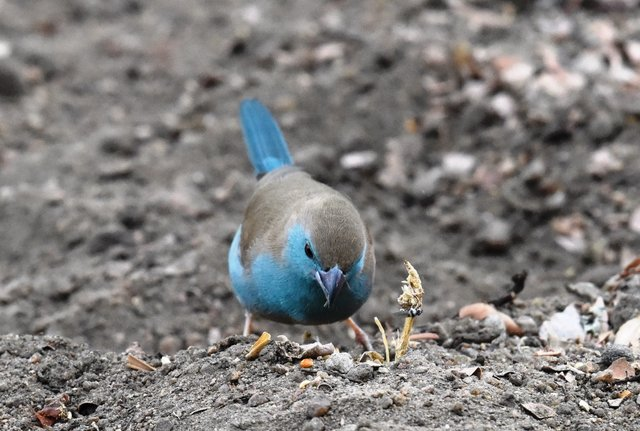 15 Blue waxbill (3)
