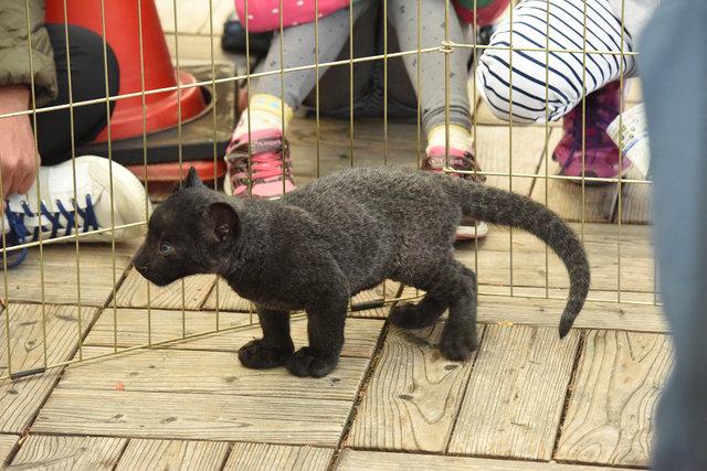 黒豹 (14)s