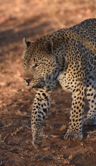 1豹 (8)