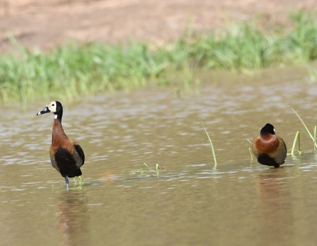 23White Faced whistling Duck
