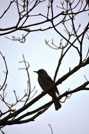 5山鳥 (13)
