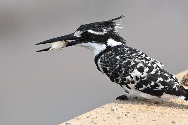 9Pied Kingfisher  (4)