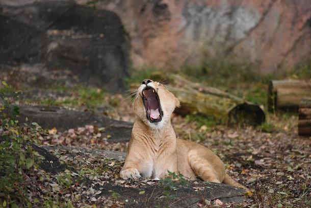 雌ライオン (5)