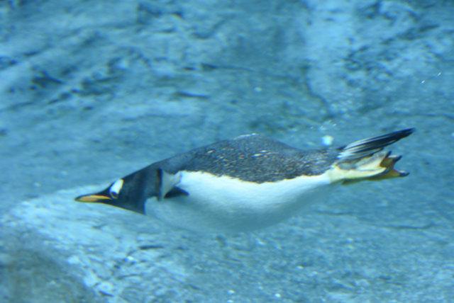 2日目ペンギン (28)s