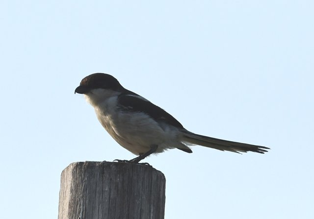 26 Fiscal Flycatcher