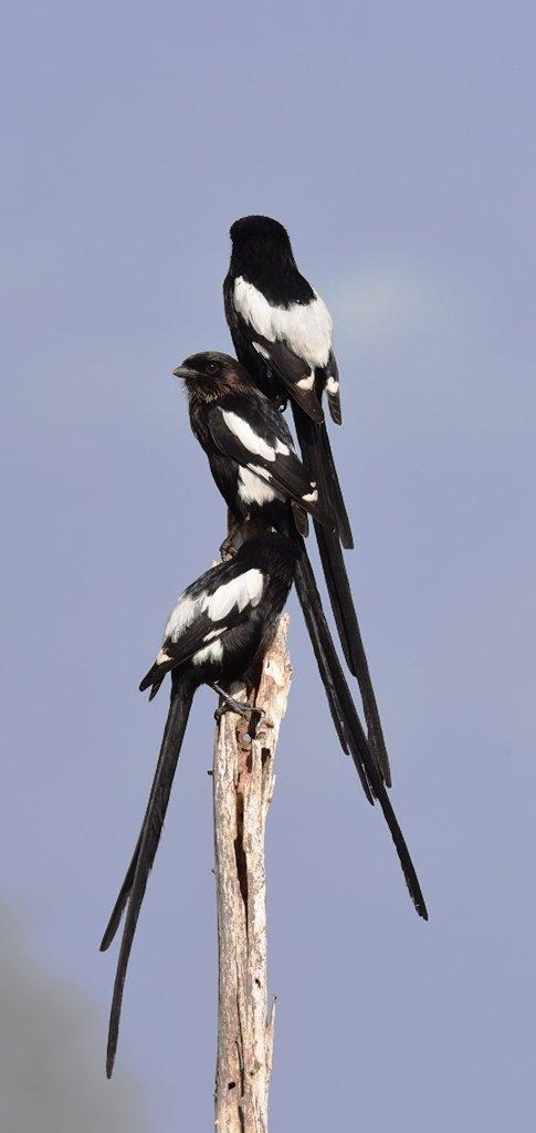 34Magpie Shrike