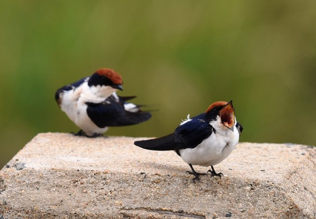 27Wire-tailed Swallow (1)